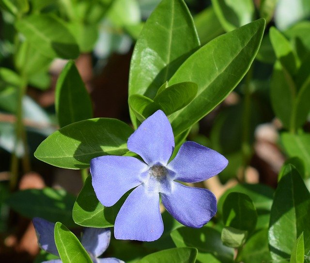 What not to grow in your garden - Periwinkle