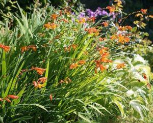 crocomonia - plant to never plant