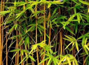 what never to grow in your garden - bamboo