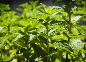 what never to grow in your garden - mint