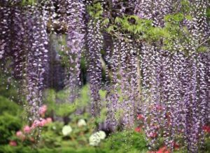 what not to plant in your garden - wisteria