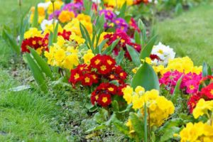 winter flowering primulas