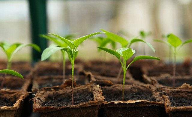 vegetable seedling
